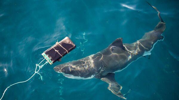 Проверка нового материала для гидрокостюмов на прочности при укусе белой акулы