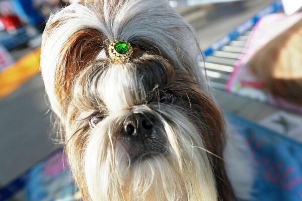 Собака породы ши-тцу на международной выставке собак в Москве