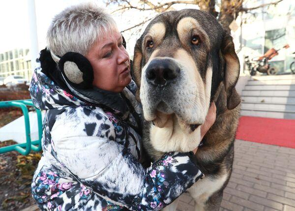 Собака породы испанский мастиф на международной выставке собак в Москве
