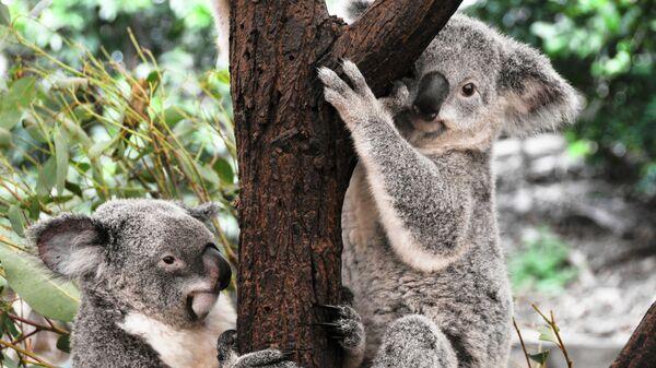 Коалы могут вымереть в австралийском Новом Южном Уэльсе к 2050 году