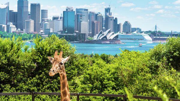 Жираф в зоопарке Таронга Сиднее
