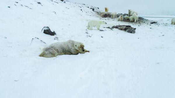 Белые медведи у поселка Рыркайпий на Чукотке