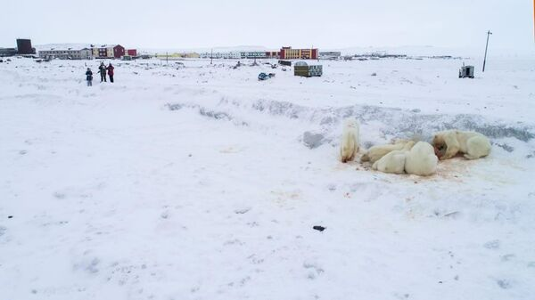 Медведи рядом с поселком Рыркайпий доедают тушу моржа