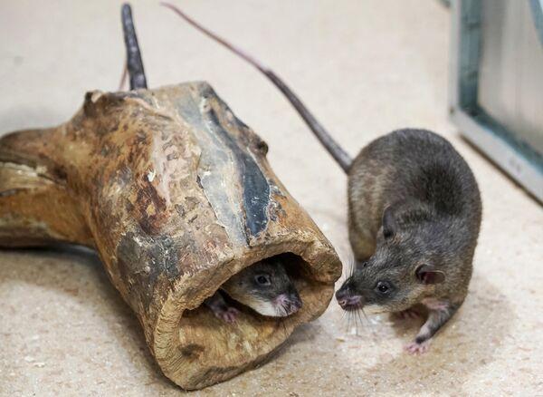Гигантские крысы Гамби (гигантская гамбийская хомяковая крыса) у зоолога Евгения Рыбалтовского в городе Всеволожске Ленинградской области
