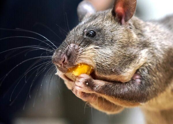 Гигантская крыса Гамби (гигантская гамбийская хомяковая крыса) у зоолога Евгения Рыбалтовского в городе Всеволожске Ленинградской области