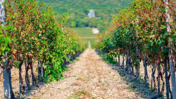Кубанские виноградники