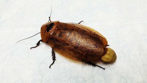 Самка таракана - архимандрита, которую прооперировали красноярские ветеринары