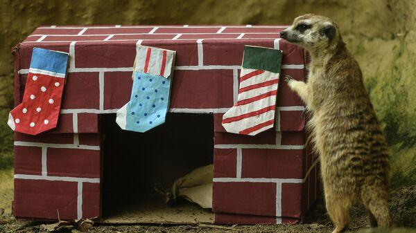 Сурикат с рождественскими подарками в зоопарке города Кали, Колумбия. 21 декабря 2019