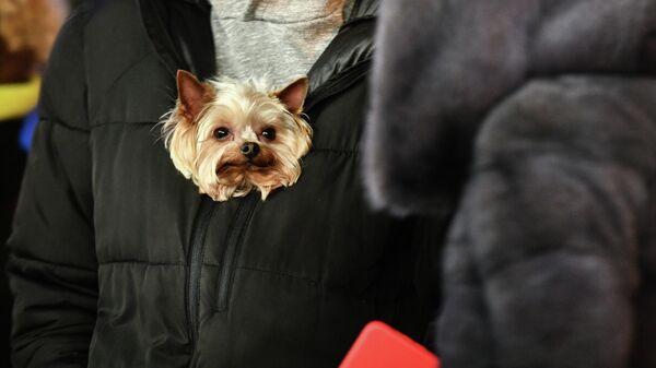 Житель Симферополя несет собачку под верхней одеждой