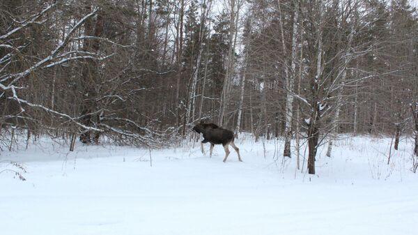 Лосенок выпущен в лес в Нижнем Новгороде