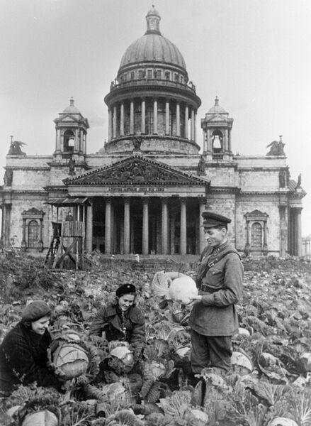Сбор урожая капусты на огороде у Исаакиевского собора. Блокада Ленинграда