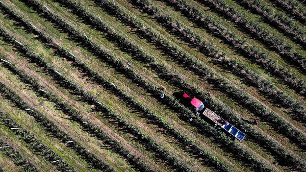 Сбор урожая яблок в Карачаево-Черкесии