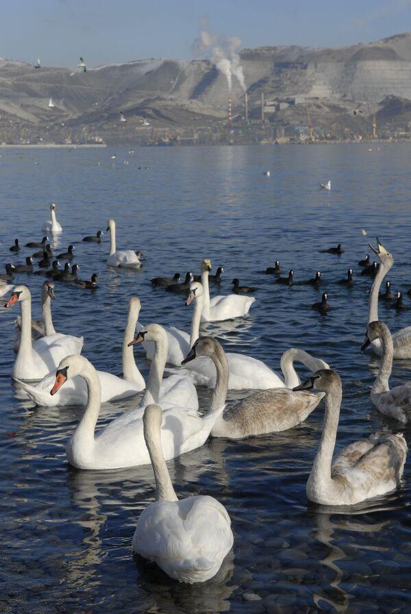 В центре внимания российских орнитологов в 2009 году окажутся лебеди