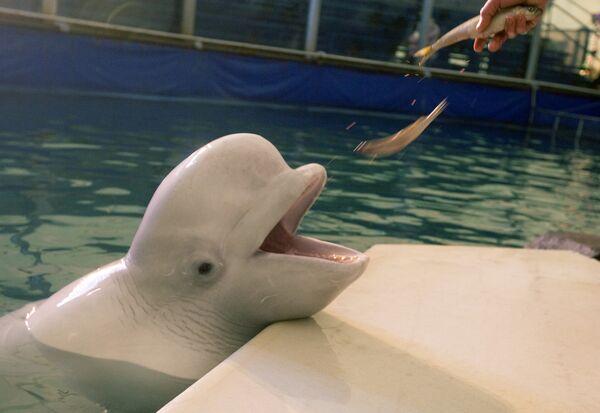 Выступление белых китов. Архив