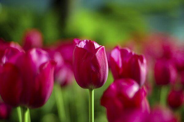 Более 2,5 миллиона разноцветных тюльпанов украсят Москву к 9 мая