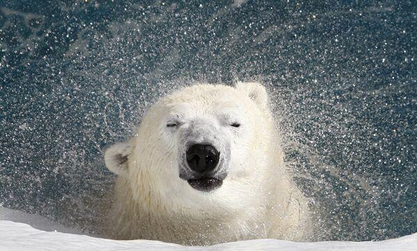 Белый медведь в зоопарке Сен-Фелисьен в Канаде