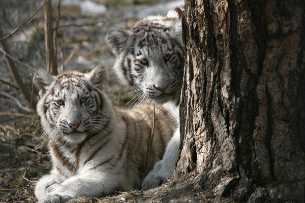 Белые тигрята в Новосибирском зоопарке