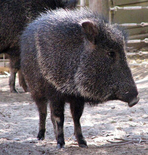 Белохвостый гну и мускусная свинья родились в Московском зоопарке