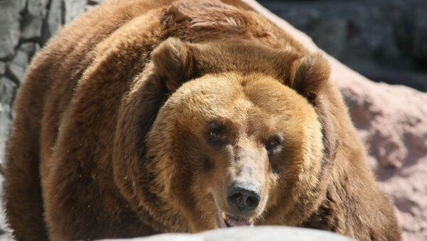 Теплая погода не дает уснуть бурым медведям в московском зоопарке