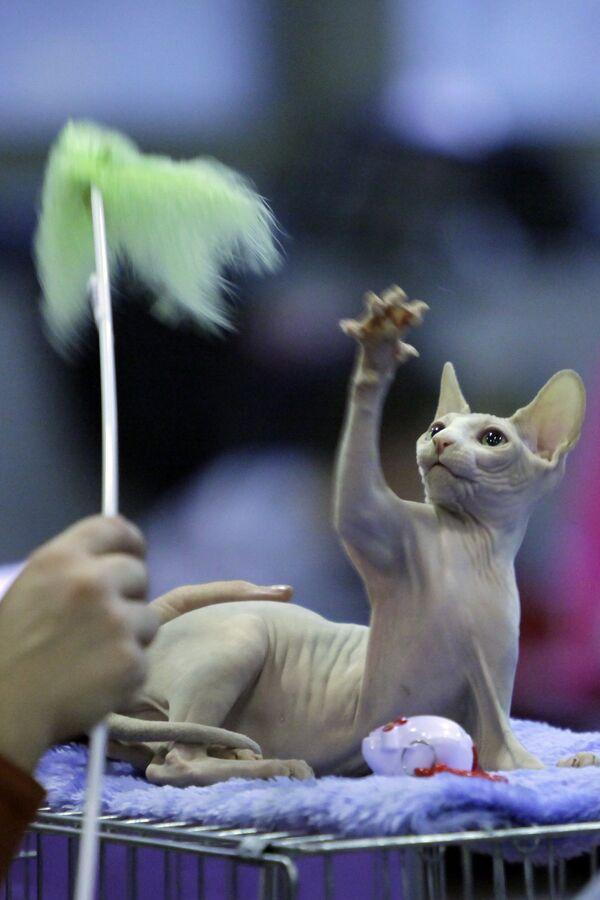 Кузбасские приставы арестовали котенка редкой породы