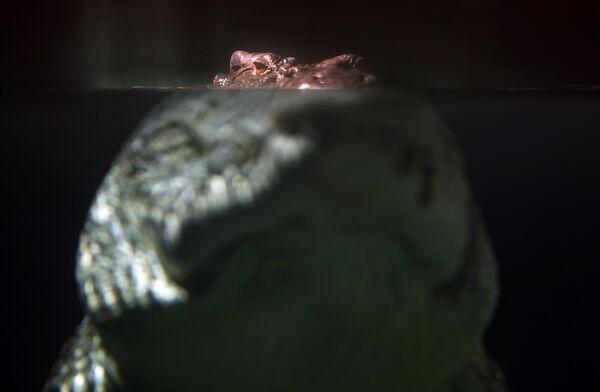 Крокодил в сиднейском аквариуме
