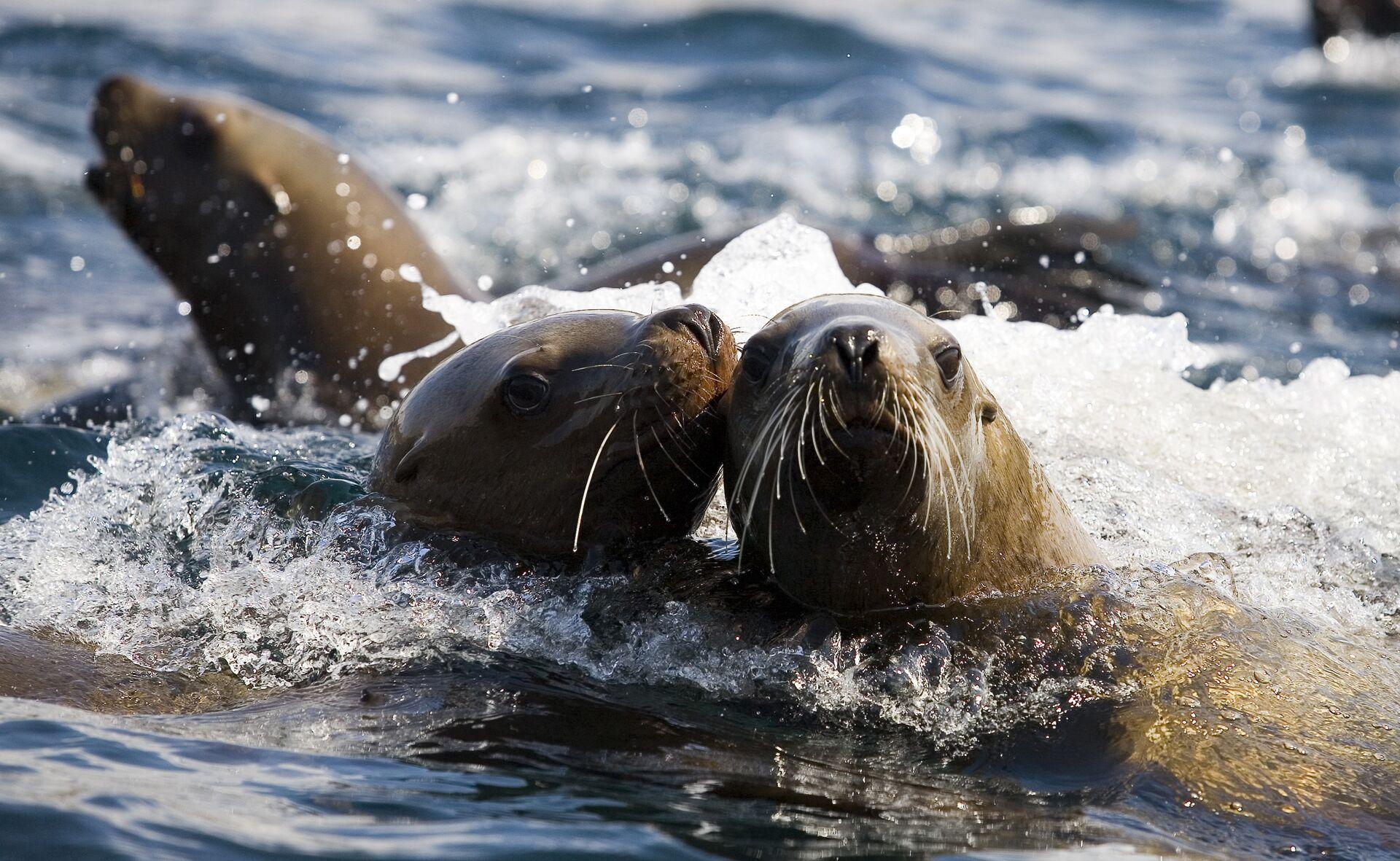 Ушастые тюлени — сивучи в акватории Невельского порта - РИА Новости, 1920, 20.02.2021