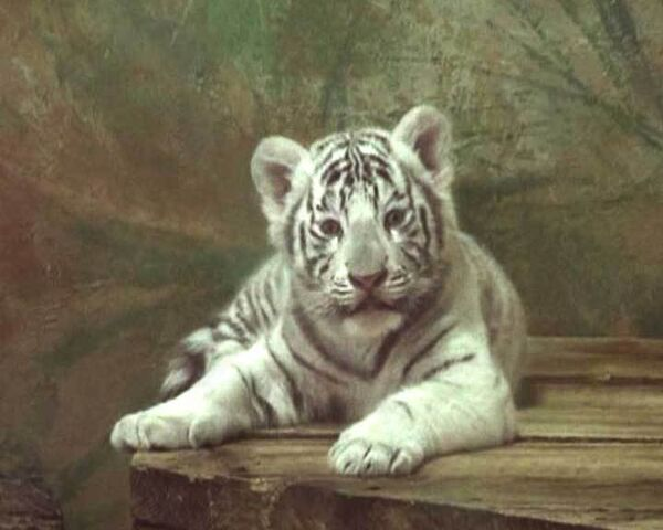Бенгальских тигрят с голубыми глазами готовят показать зрителям