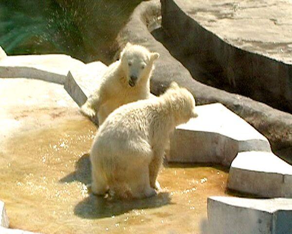 Белые медвежата из московского зоопарка учатся плавать