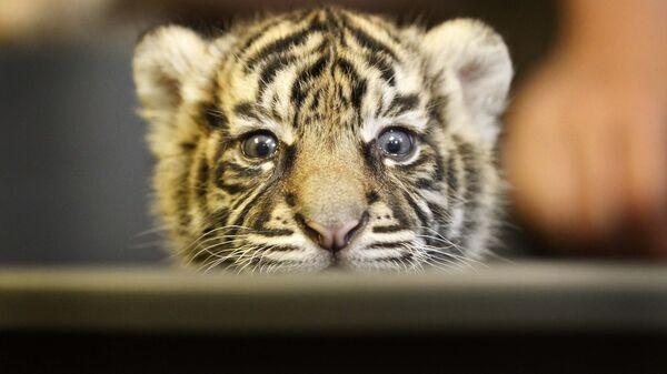 Трехнедельный суматранский тигренок Daseep в зоопарке Франкфурта