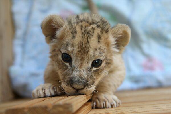 Двое детенышей африканской львицы растут в Новосибирском зоопарке