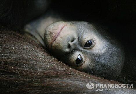 Новорожденные орангутаны в Московском зоопарке