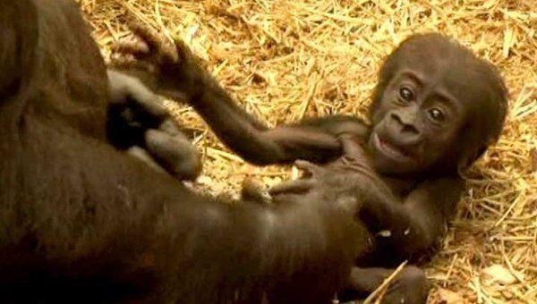 Первые шаги детеныша гориллы удалось запечатлеть на видео