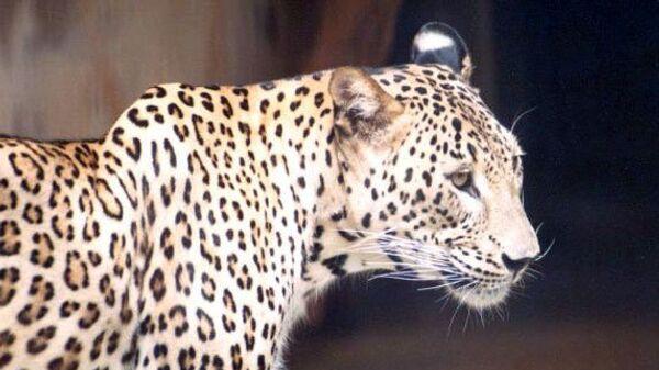 Кавказский леопард (переднеазиатский)