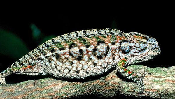 Мадагаскарская ящерица вида Furcifer lateralis находится на грани вымирания