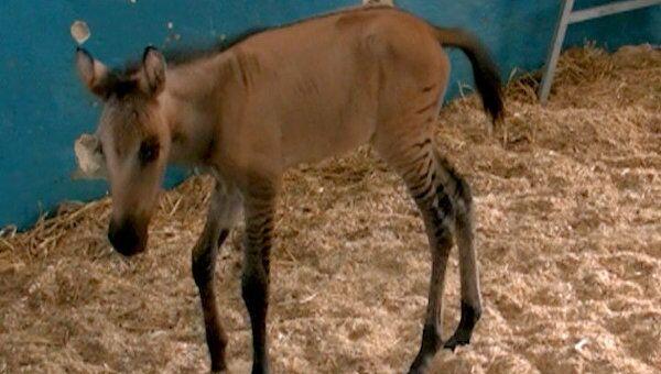 Зеброид Чудо через сутки после рождения стоит на ногах и пытается бегать