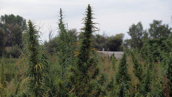 Тува и конопля марихуана в риге