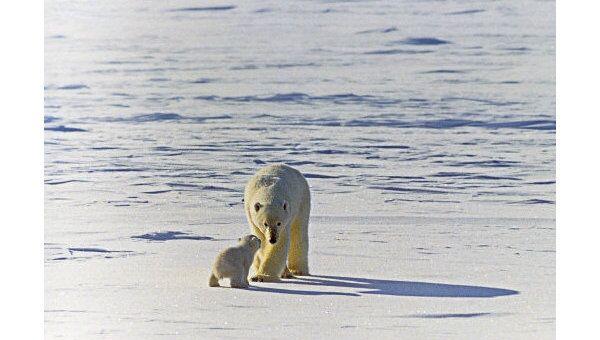 WWF России предложит опыт Медвежьих патрулей странам Арктики