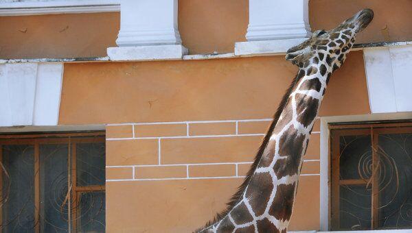 Жираф в Московском зоопарке. Архив