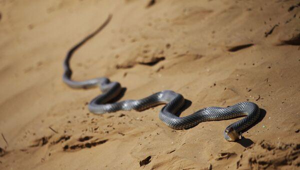 Змея ползет по песку. Архивное фото