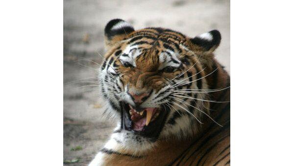Амурский тигр в Дальневосточном зоосаде