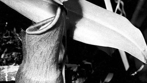 Насекомоядное растение непентес кувшинчиковый. Архив