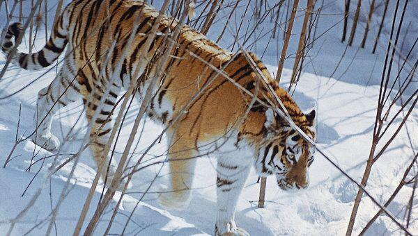 Амурский тигр. Архив