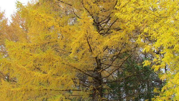 Золотая осень Лиственницы