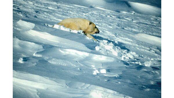 Таяние арктических льдов угрожает четверти населения планеты - WWF