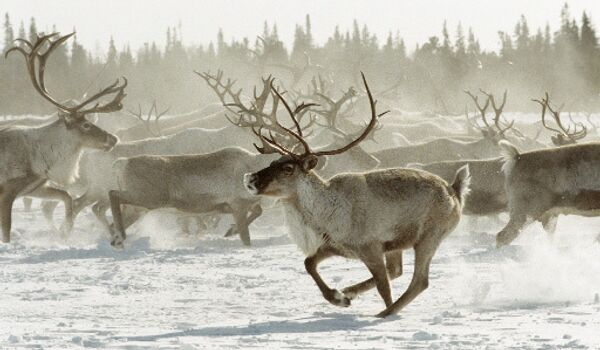 Стадо оленей бежит по тундре