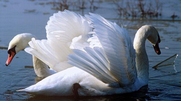 Лебеди в пруду. Архив