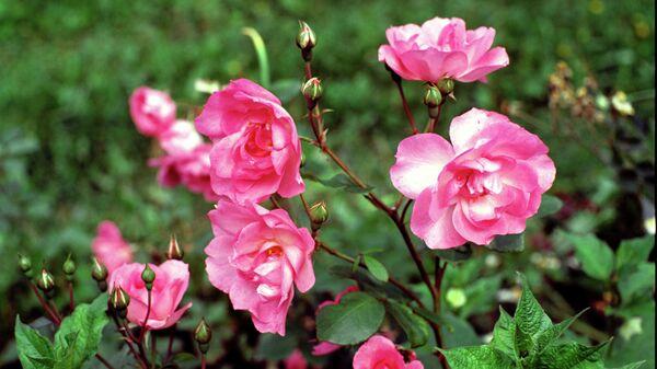 Как сажать розы: особенности и сроки посадки