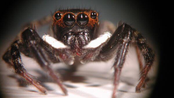 """Передние глаза-""""дальномеры"""" паука-скакуна Hasarius adansoni"""