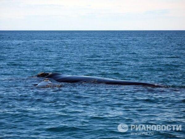 Синий южный кит и детеныш у полуострова Вальдес в Атлантическом океане у побережья Аргентины.