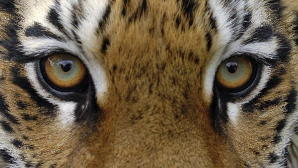 Экологи рады проведению международного тигриного форума в России